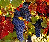 buy ADB Inc Rare French Cabernet Sauvignon Grape Bush Organic Seeds now, new 2020-2019 bestseller, review and Photo, best price $1.94