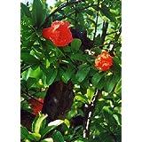 TROPICA - Dwarf Pomegranate (Punica granatum nana) - 50 Seeds - Winter-Hardy