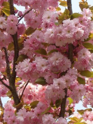 Amazon Japanese Cherry Tree Pink Cloud Oriental Sweet Prunus