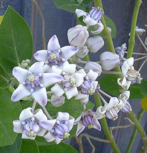 15 Seeds | Calotropis gigantea Purple | Giant Milkweed | Butterflies Love
