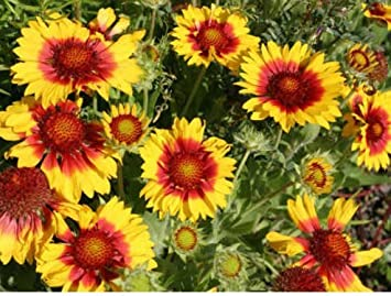 Amazon New Blanket Flower Seeds American Native Wildflower