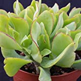 Crassula Arborescens Undulatifolia Cactus Cacti Succulent Real Live Plant