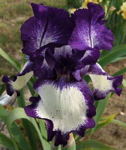 - 2-Purple Iris Bulbs Bright Perennial Flower Bonsai - Planting Now for Summer Blooming