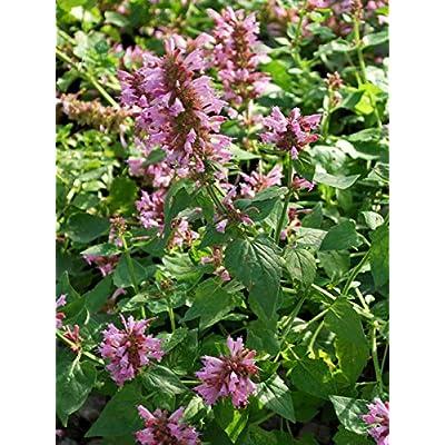 Perennial Farm Marketplace Agastache x Poquito 'Lavender' (Dwarf Hummingbird Mint) Perennial, Size-#1 Container, Purplish-Pink Spikes : Garden & Outdoor