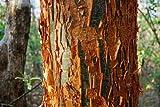 Gumbo Limbo Bursera Simaruba tropical hardwood rare flower rare tree 100 seeds