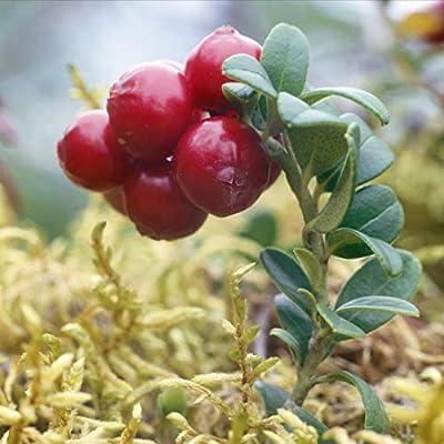 100+ Vaccinum Vitas-Idaea, Mountain Cranberry, Lingonberry, Cowberry Seeds/Evergreen Perennial : Garden & Outdoor