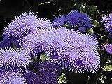 Seeds Flossflower Golubaya Laguna - Blue Lagoon (Ageratum houstonianum)