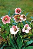 Helleborus Pink Lady 4 Seeds - Shade Perennial