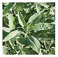 David's Garden Seeds Herb Sage White SL9613 (White) 25 Non-GMO, Organic Seeds