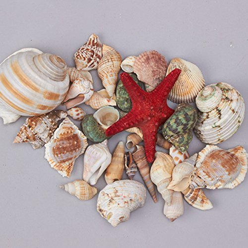 Decorative Seashells for Crafts Parties Interior Decorating 10.5 Ounces of Assorted Color and Sizes of Shells