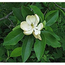 15 Seeds Southern Sweetbay Magnolia Virginiana Southern Flowering Tree