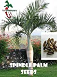 25 Spindle Palm seeds, ( Hyophorbe verschaffeltii ) from Hand Picked Nursery