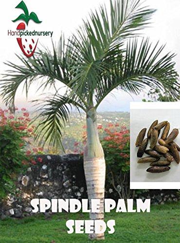 Palm 10 Seeds - 10 Spindle Palm seeds, ( Hyophorbe verschaffeltii ) from Hand Picked Nursery
