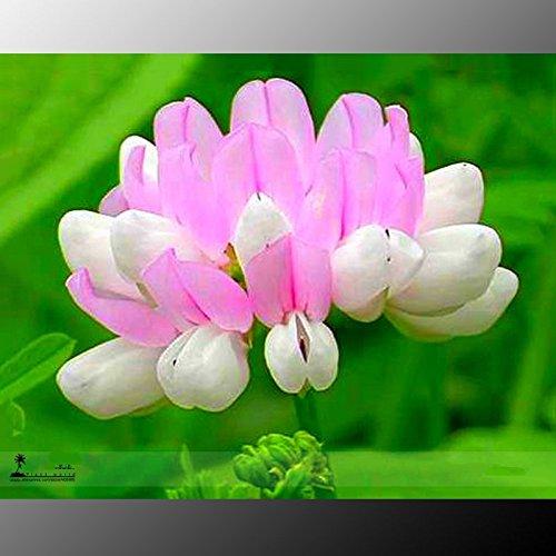 Vario White (Securigera Varia White Pink Crown Vetch Perennial Herb Flower Seeds, Purple Crown Vetch)