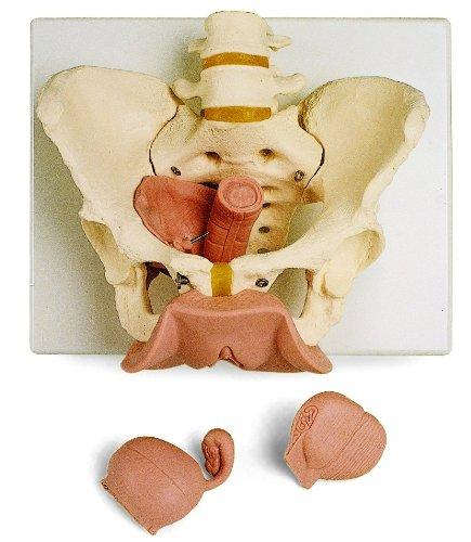 暮らし健康ネット館 骨盤,生殖器付3分解モデル,女性 B007NCVO44 B007NCVO44, ドリームMAX:2f1bf525 --- a0267596.xsph.ru