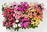 20 LEWISIA Cotyledon-Hybr. [Galaxy Mix) Excellent in containers