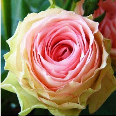 Hot Sale 100 Seeds cabbage Rose Flower Seeds DIY Home for sale  Delivered anywhere in USA
