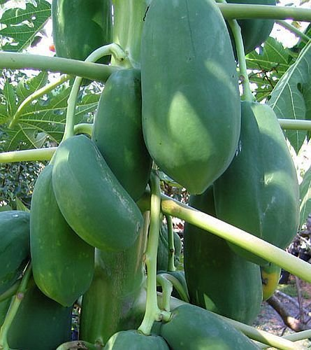 dwarf-solo-papaya-tree-10-seeds-small-fruit-perfect-for-growing-in-pots