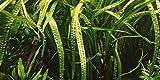 Tropica 1-2 GROW! - Cryptocoryne crispatula - Live aquarium plant