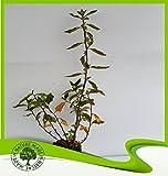 Rhamnus Alaternus (Italian buckthorn) - Plant