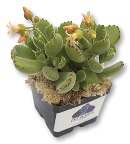 Fat Plants San Diego Succulent Plant(s) Fully Rooted in 4 inch Planter Pots with Soil - Real Live Potted Succulents/Unique Indoor Cactus Decor (1, Bear Paws) ()