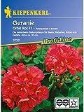 Pelargonium zonale Geranien rot