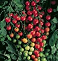 David's Garden Seeds Tomato Cherry Supersweet 100 DV3981A (Red) 25 Hybrid Seeds