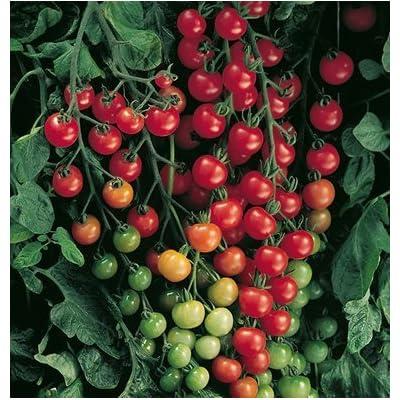 David's Garden Seeds Tomato Cherry Supersweet 100 SL3981 (Red) 25 Non-GMO, Hybrid Seeds : Garden & Outdoor