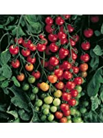 David's Garden Seeds Tomato Cherry Supersweet 3981 (Red) 25 Non-GMO, Hybrid Seeds