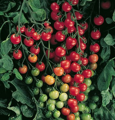 David's Garden Seeds Tomato Cherry Supersweet 100 SL3981 (Red) 25 Non-GMO, Hybrid Seeds