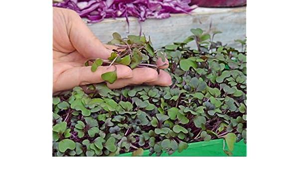 Microgreens - col roja - hojas jóvenes con un sabor excepcional - semilla: Amazon.es: Jardín
