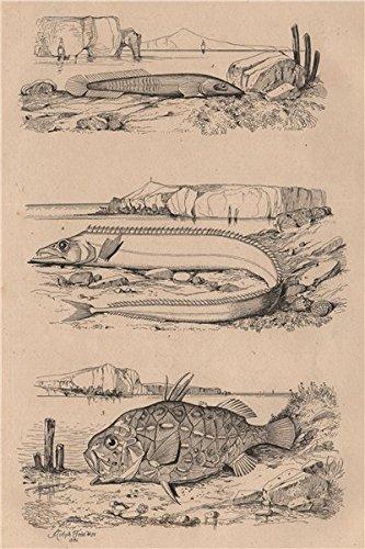 (Clingfish. Lepidopus/silver scabbardfish. Monocentris/pinecone/pineapple fish - 1834 - old print - antique print - vintage print - Fish art)