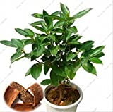 5 pcs japanese cinnamon seeds dwarf trees seeds indoor bonsai pot container garden plant