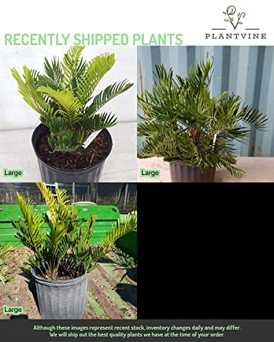 PlantVine Zamia pumila, Zamia floridana, Coontie - Large - 8-10 Inch Pot (3 Gallon), Live Plant - 4 Pack by PlantVine (Image #4)