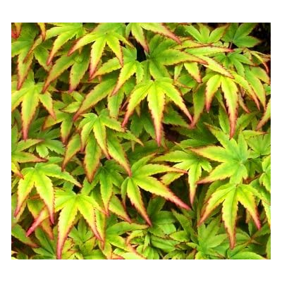 Fascination Japanese Maple 3 - Year Live Plant : Tree Plants : Garden & Outdoor