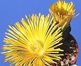 Pleiospilos Simulans succulent cactus 10 seeds~living Stones~Not Lithops Seeds