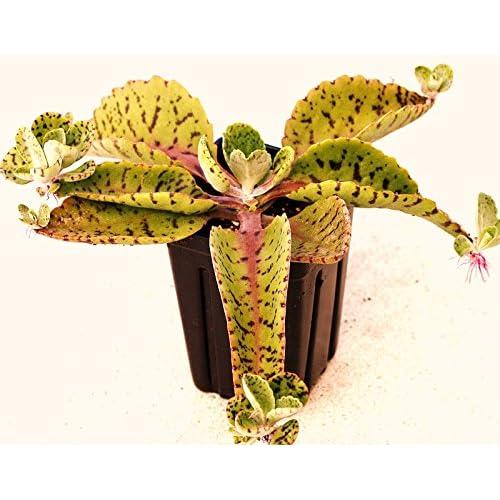 Cheap Donkey Ears - Kalanchoe Gastonis-bonnieri, Sold By EXOTIC CACTUS Plant Exotic Succulents Seed 50 Seeds + Bonus 20 dorstenia crispa seeds
