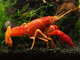 1 Live Neon Red Crayfish/Freshwater Lobster aka Orange/Tangerine Crayfish (2 to 3+ inch Young Adult!) - Stunning Red Variant of the Electric Blue Crayfish by Aquatic Arts