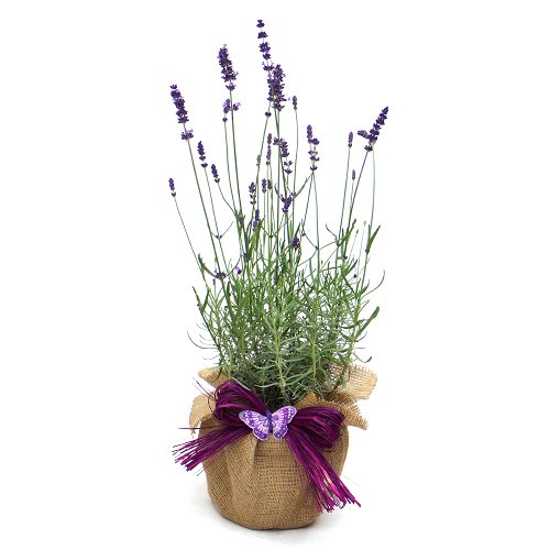 SCENTED ENGLISH LAVENDER-Superb Plant & Flower Gift To Send For Birthdays & All Occasions Giftaplant Lavendf1