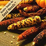 Seed Needs 500 Seeds, Ornamental Corn Carousel Mixture (Zea mays) Seeds