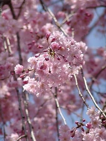 しだれ 桜