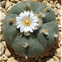 Exotic Plants Lophophora williamsii - Peyote, Botón de Mezcal, Jícore - 10 Semillas
