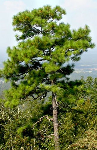 Longleaf Pine Tree Seeds, Pinus palustris, Popular Southern Pine Tree
