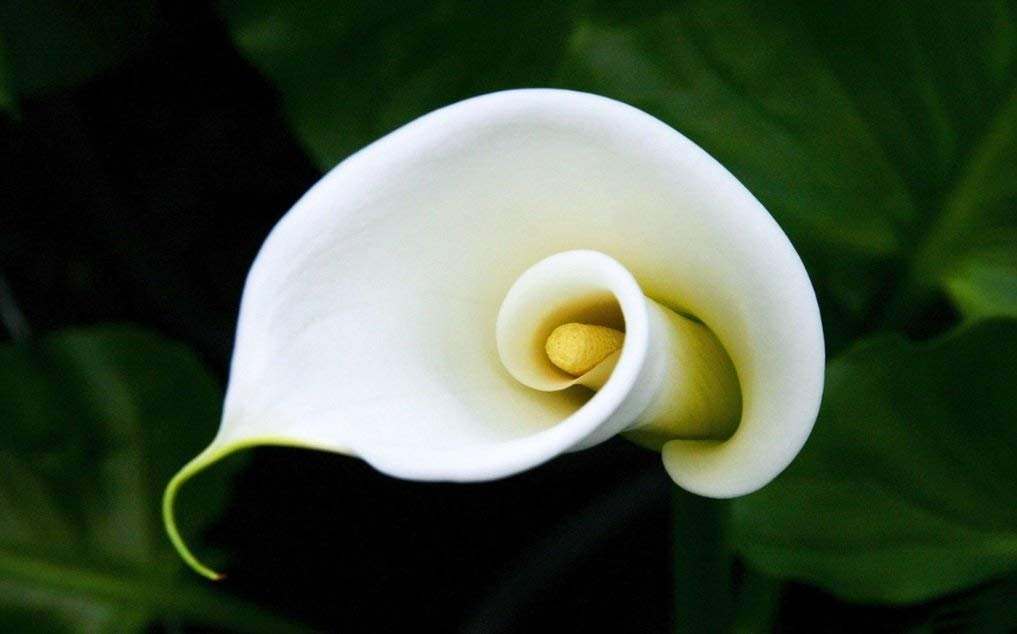 Giant White Calla Lily Zantedeschia Aethiopica 2 Large Bulb 18+ cm - Hardy Calla by BSSTORE