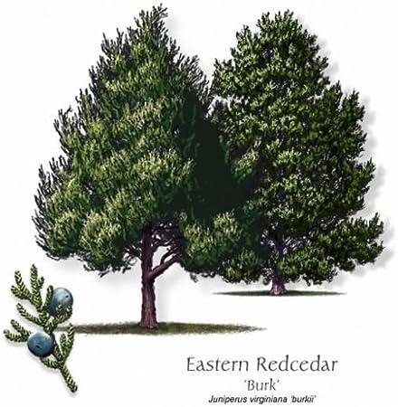 100 seeds Eastern Red Cedar seeds trees