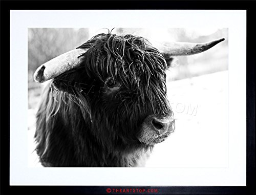 PHOTO COMPOSITION ANIMAL LIVESTOCK HIGHLAND COW BULL FRAMED PRINT F97X5508