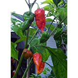 Potomac Banks Pack of 15 Hot Ghost Pepper Seeds (Bhut Jolokia Ghost)