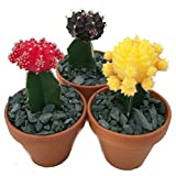 "3 Neon Grafted Moon Cactus Plants - Easy to Grow - Colorful - 3"" Pot"