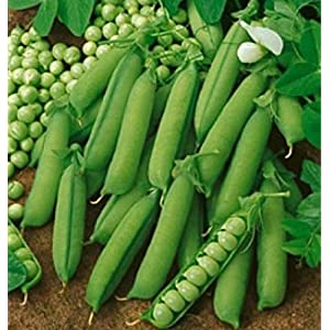 Early Alaska English Running Pea Heirloom Non-GMO Garden Vegetable - 25 Seeds