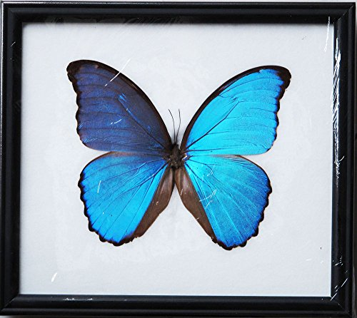 [Angelwing Real Morpho Blue Butterfly Didius Peruvian Taxidermy Insect Mounted Frame Wings Giant] (Parrot Costume Wings)